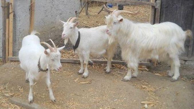 Capra Albă de Banat, o rasă cu producție mare de lapte
