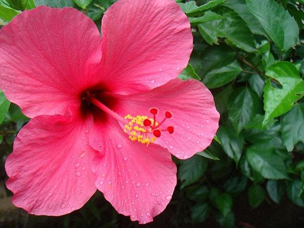 hibiscus sabdariffa pierdere în greutate arzător de grăsime din zer fericit