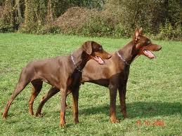 Înălțimea și greutatea câinelui Doberman de luni de zile - Paraziți November