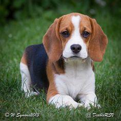 Beagle – Cum să găsești jucăriile potrivite