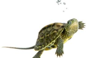 Cum să ajuți o broască țestoasă să hiberneze