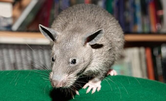 de ce șobolanul meu a pierdut în greutate