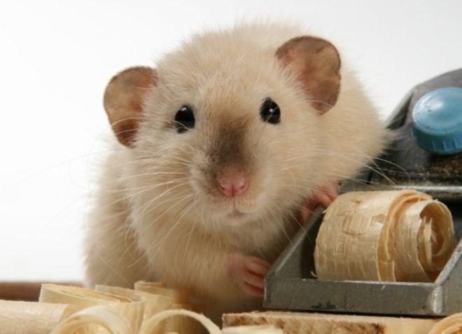 Cum să ai grijă de un șobolan paralizat | cocarde-nunta.ro