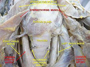 Ce metode promovează pierderea în greutate dacă nu există glanda tiroidă? Dieta tiroidiană