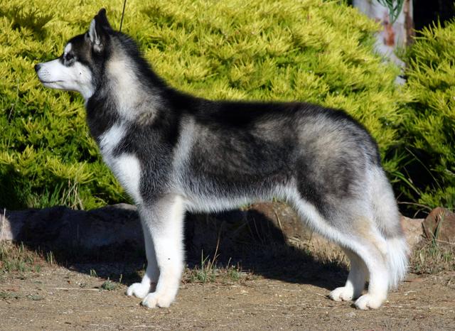 Husky înălțime și greutate de lună
