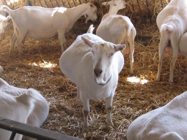 pierderea în greutate a caprei