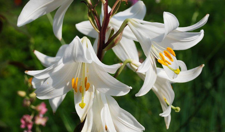 Spathiphyllum – Crinul pacii – Ingrijire   Spathiphyllum, Peace lily, Plants