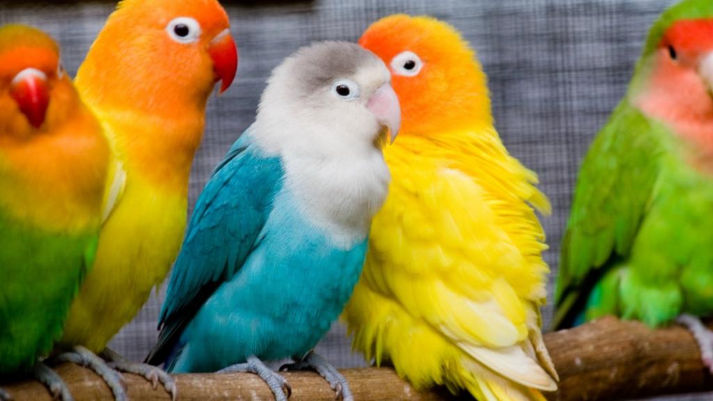 Cum se tratează poliomavirusul în papagalii caiac   cocarde-nunta.ro